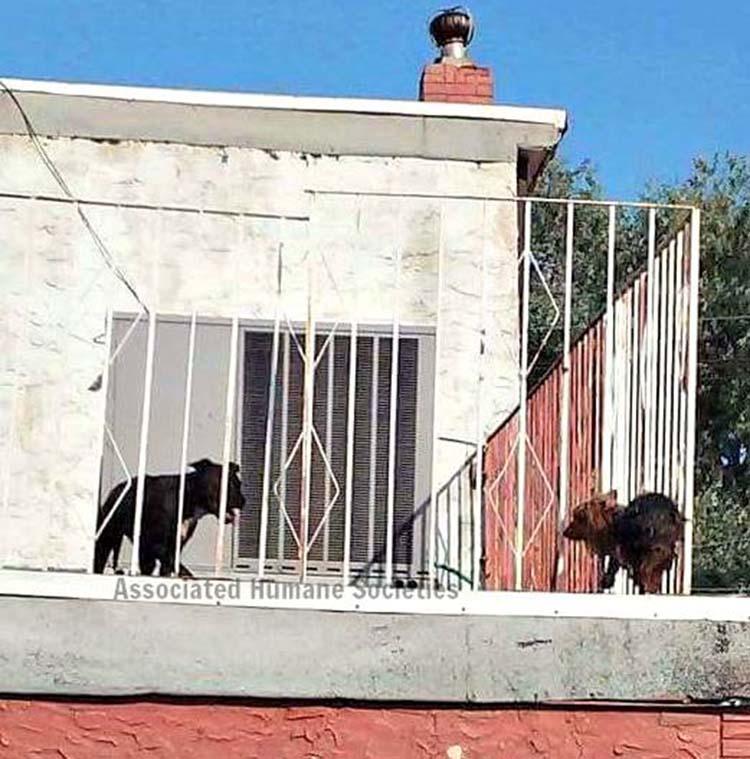 Pit bull y yorkie quemandose en una terraza