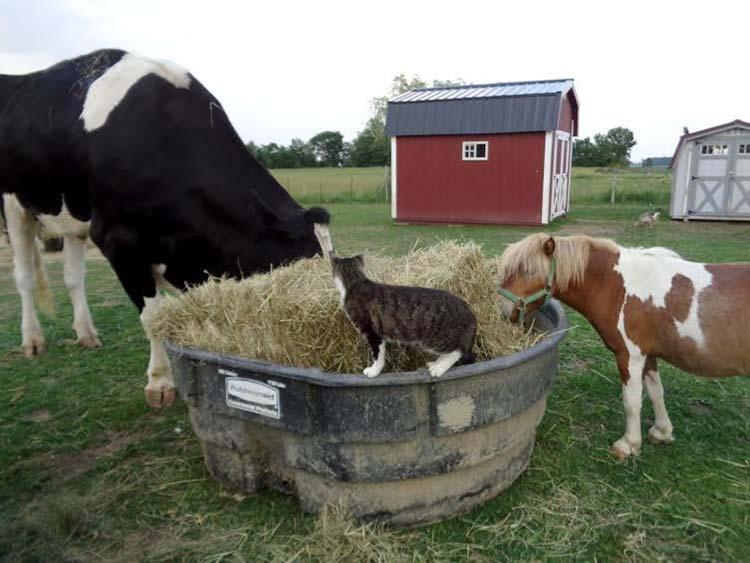 Vaca se esconde