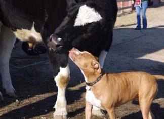 Vaca y pit bull se convierten en mejores amigos en un santuario