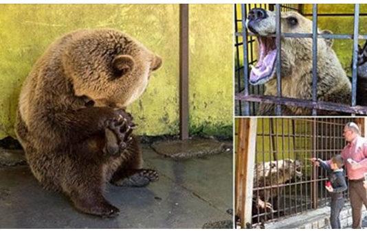 oso desesperado encerrado en una jaula en albania