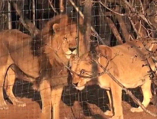 Adorable momento en que un león rescatado de un circo se reencuentra con su hija después de una cirugia