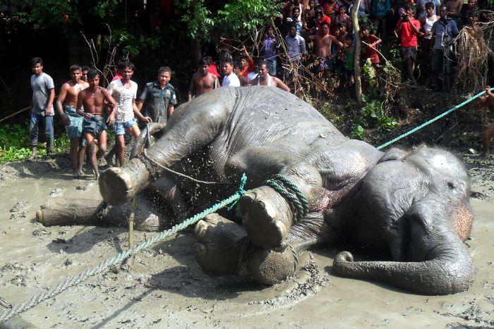 Aldeanos salvan a un elefante en Bangladesh