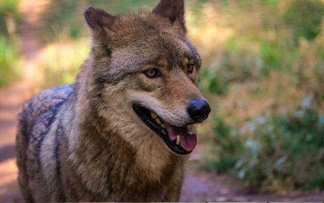 El estado de Washington anuncia plan para acabar con una manada de lobos grises