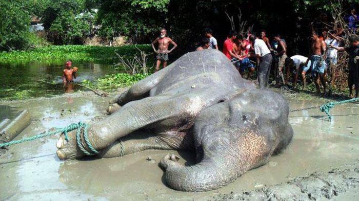 Elefante rescatado de ahogarse
