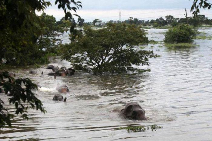 Elefantes arrastrados por la corriente