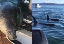 Esta astuta foca pudo escapar de una manada de orcas hambrientas que se encontraban a su acecho