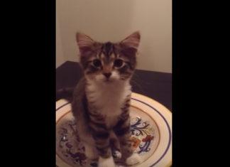 Esta preciosa gata genera gran ternura al intentar conversar con su humana