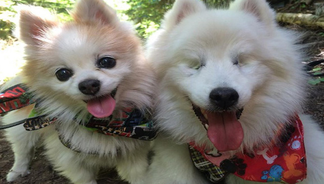 Este perro ciego puede movilizarse gracias a su mejor amigo que lo guía siempre