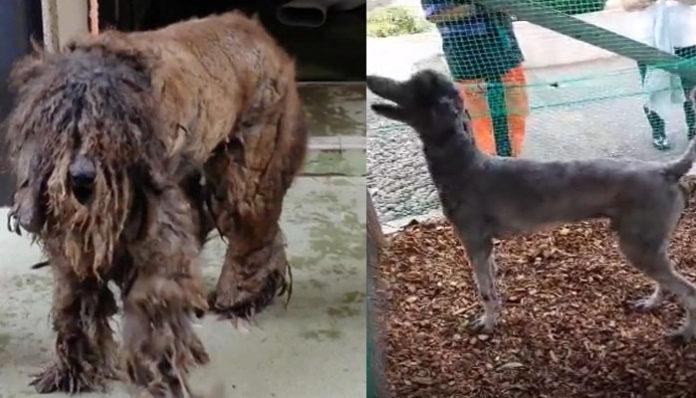 Este perro vivió una impresionante transformación después de ser abandonado por años