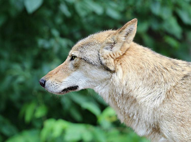 Lobo gris en peligro