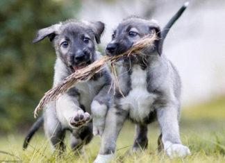 Nació en Sudáfrica el primer par de perros gemelos de raza lobero irlandés