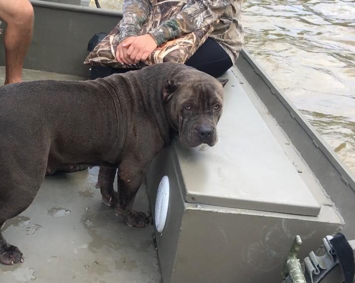 Perro rescatado en inundación en Louisiana