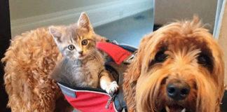 Perro se convierte en el mejor amigo de un gatito que ama ir a su espalda