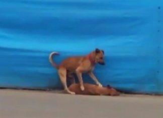 Perro tratando de revivir a su amigo atropellado