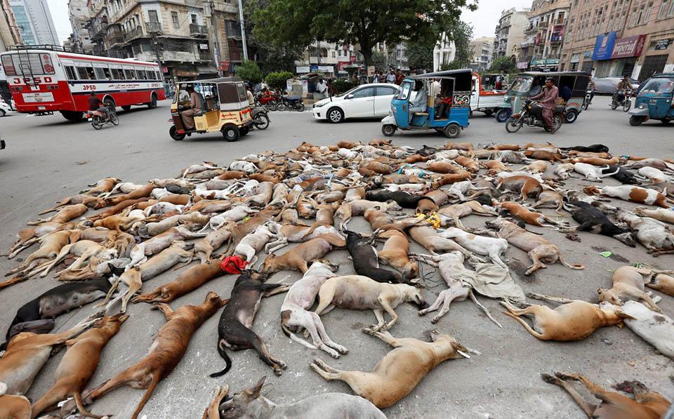 Perros sacrificados en Karachi