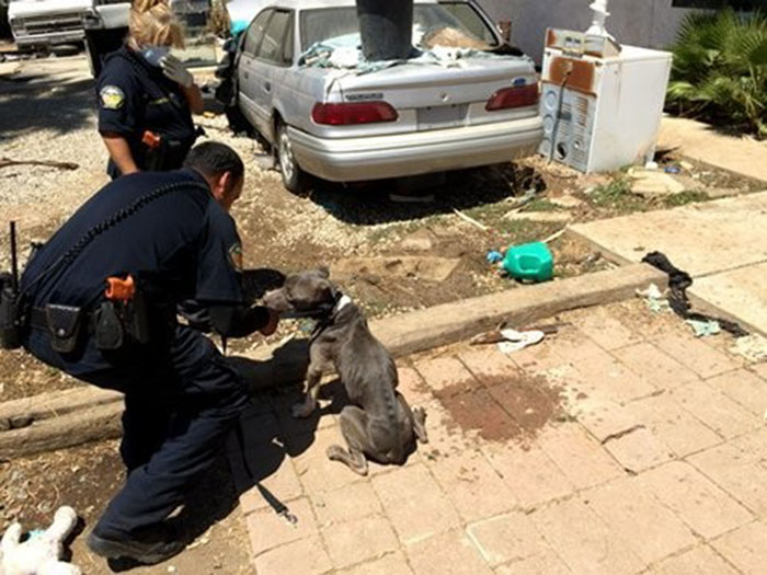 Pit bulls demacrados fueron rescatados