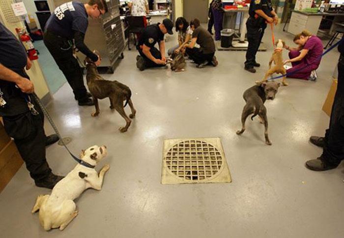 Pit bulls rescatados en Riverside