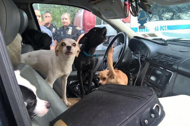 Policía rescata a 22 perros viviendo dentro de un auto caliente en New York