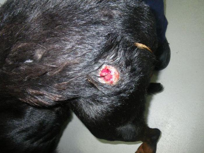 Tyson herido