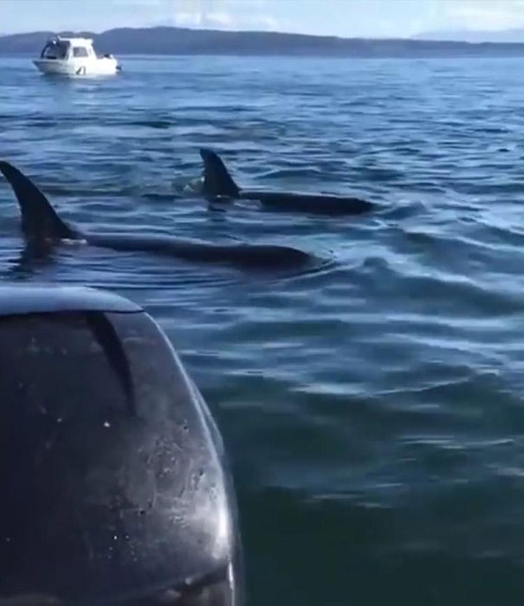 foca astuta