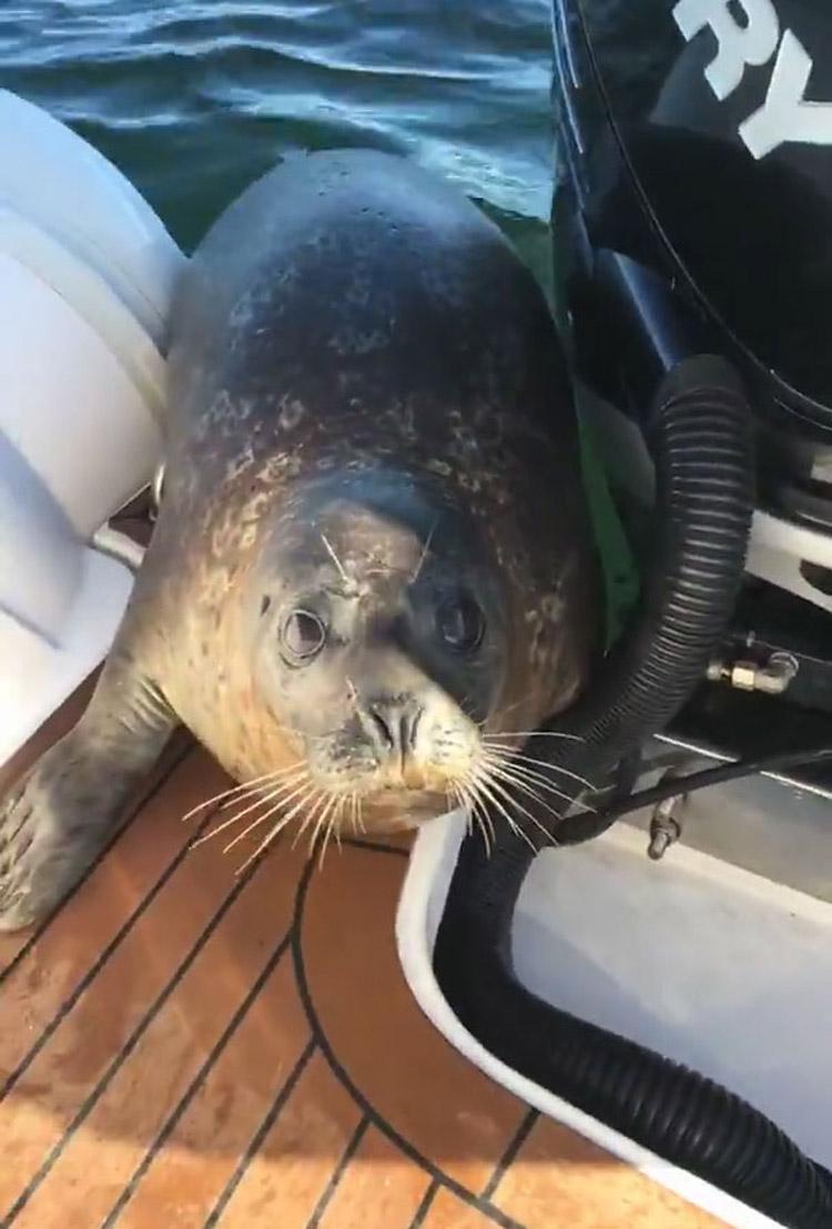 orcas acechan foca