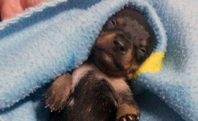 Cachorro fue mutilado para hacerlo pasar por hembra y venderlo