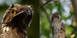 Conoce al ave fantasma, también llamado pájaro fantasma