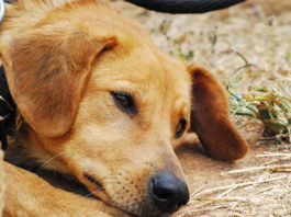 Enfermedad del gusano del corazón en perros