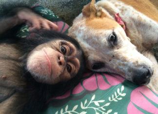 Esta perra brinda consuelo a chimpancés que se han quedado solos después de perder a sus familiares