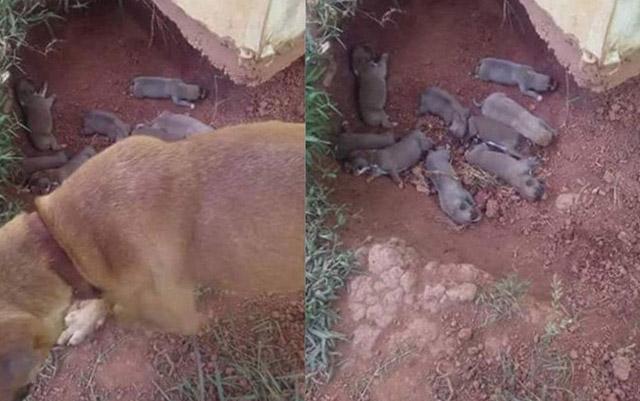 Esta perra escondió a sus cachorros en una zanja para protegerlos