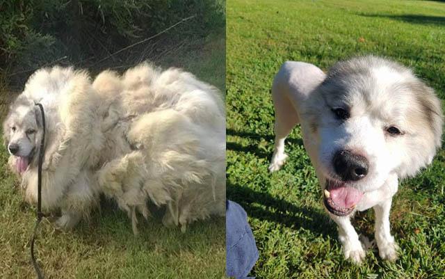 Este precioso perro se encontraba inmerso entre 35 libras de pelo y suciedad, su cambio ha sido radical