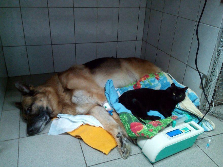 Gato enfermo cuida de otros animales