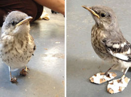 Pequeña ave recibe diminutas raquetas de nieve para poder caminar