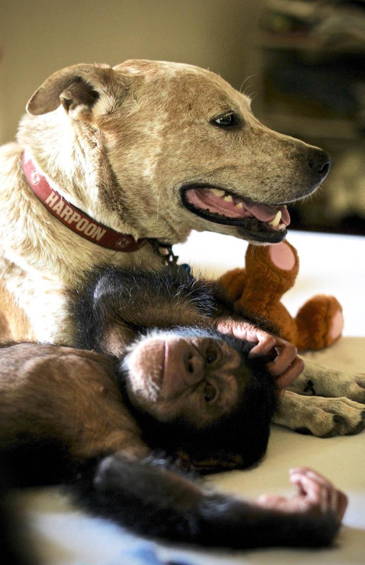 Perra consuela chimpance