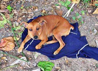 Perra fue abandonada en el bosque con una camiseta vieja