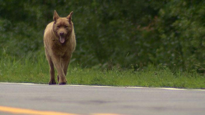 Perro camina 4 millas para saludar