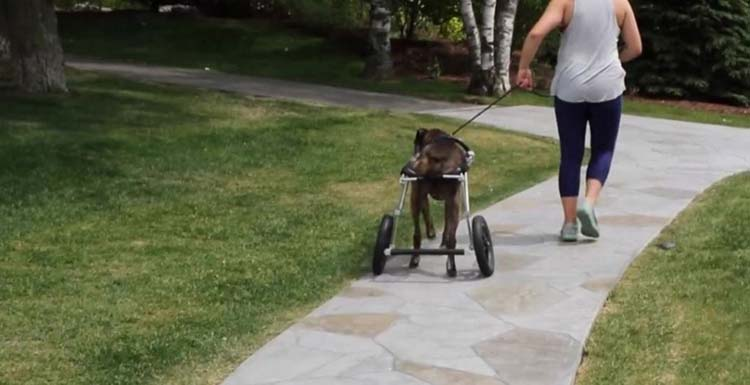 Perro en silla de ruedas