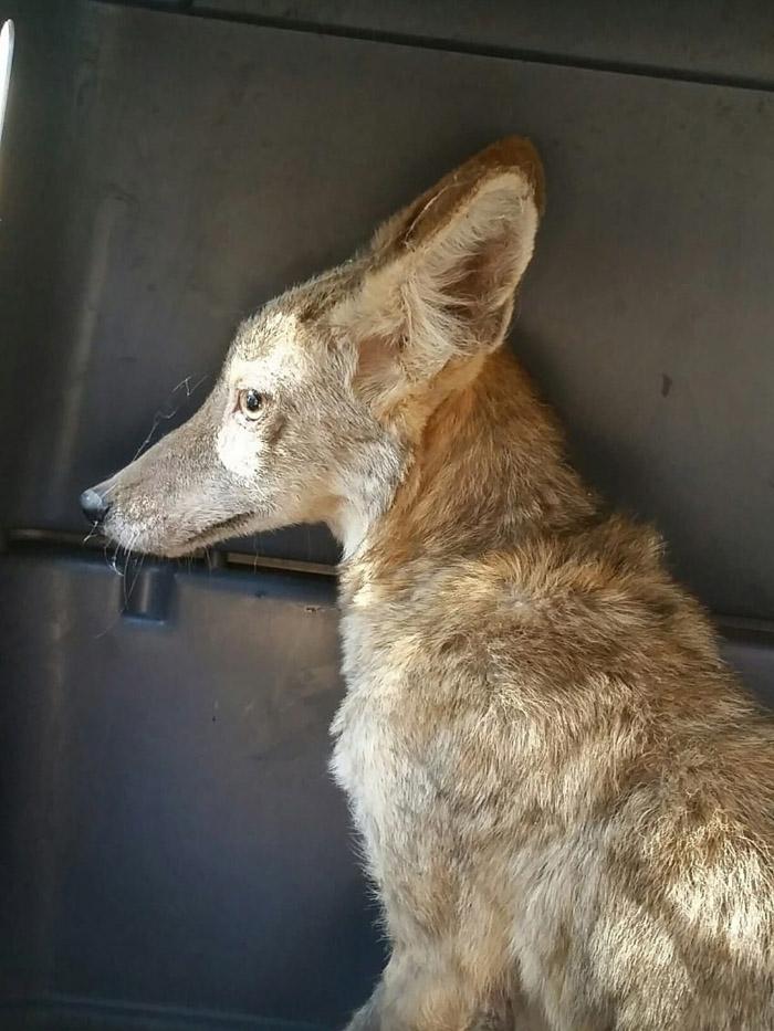 Princesa, la coyote