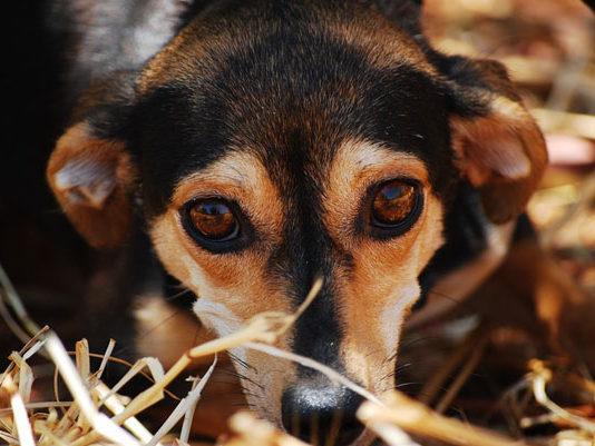 Sarna en perros, causas, síntomas y tratamiento