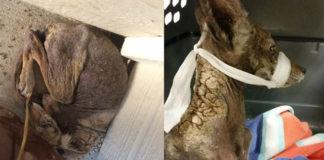 Todos pensaban que se trataba de una perra, pero se llevaron una gran sorpresa al rescatarla