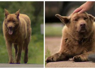 Viejo perro camina 7 kilómetros para ir a saludar a la gente