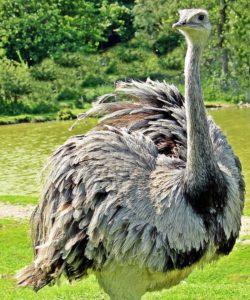 El avestruz es un ave omnívora