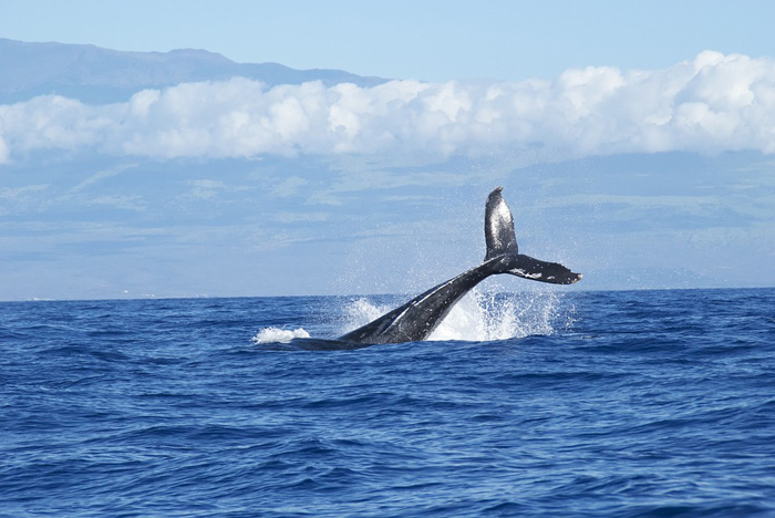 animales omnívoros, ballena