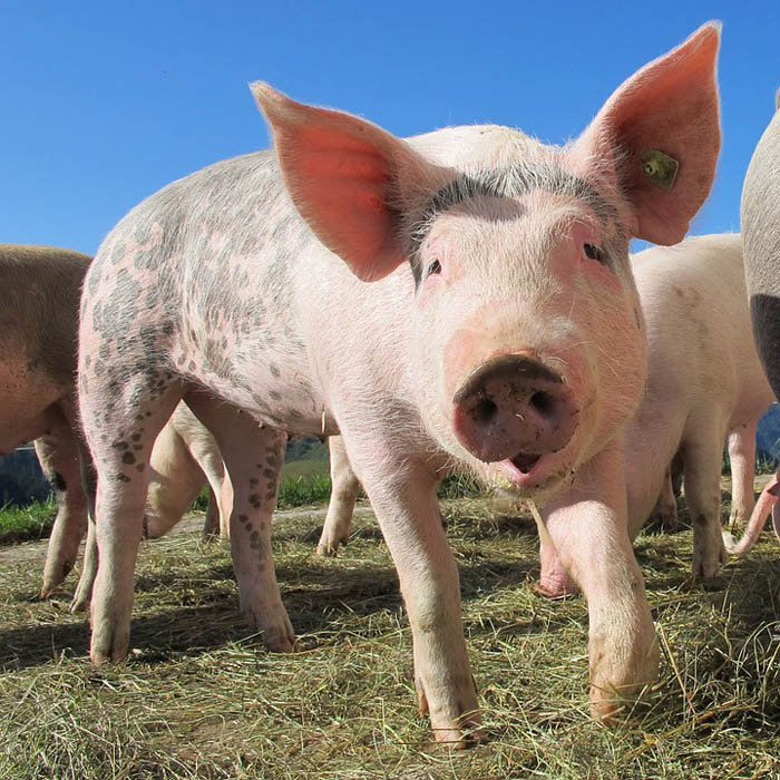 animales omnívoros, cerdo