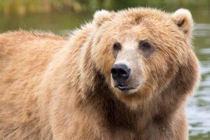 El oso pardo es un gran ejemplo de mamíferos omnívoros
