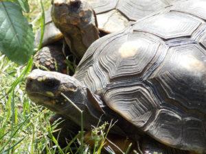 La tortuga carbonaria o cirujana es un gran ejemplo de reptil omnívoro