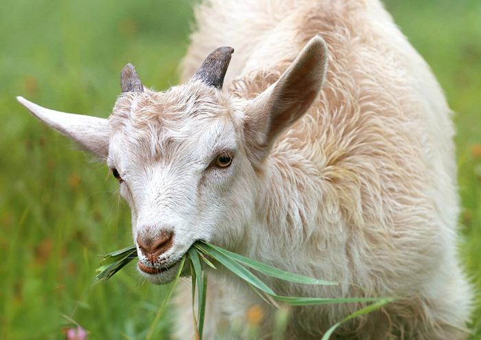 cabra, animales rumiantes