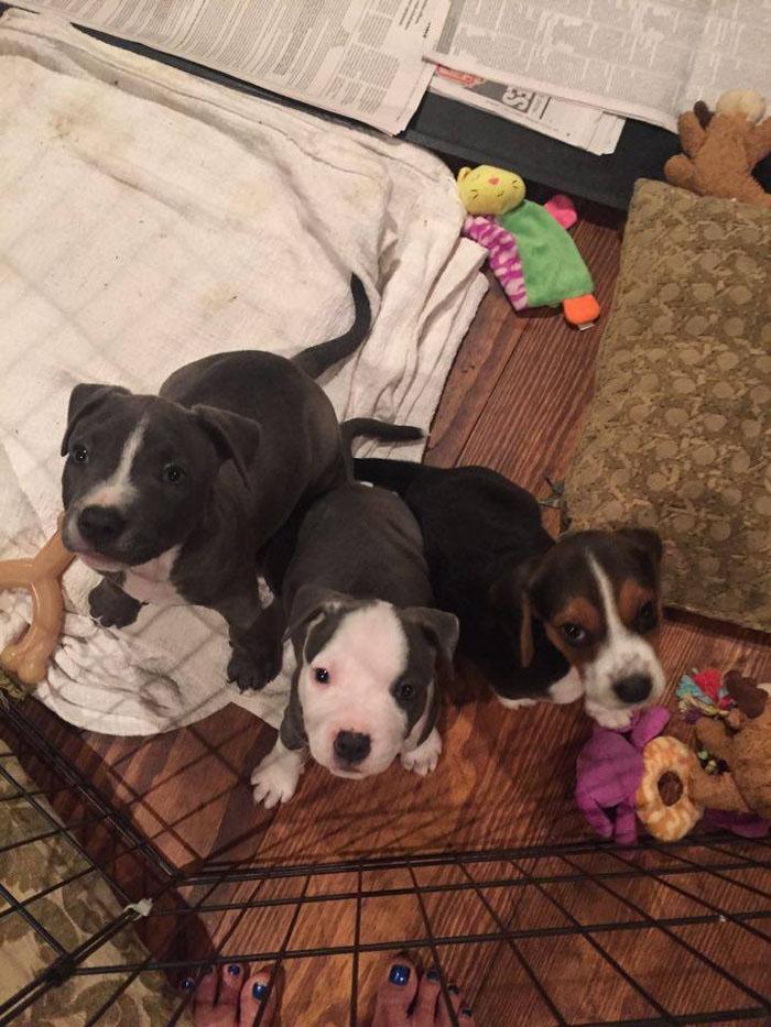 cachorros de pit bull y beagle