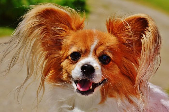 chihuahua, evitar que tu perro ladre mucho