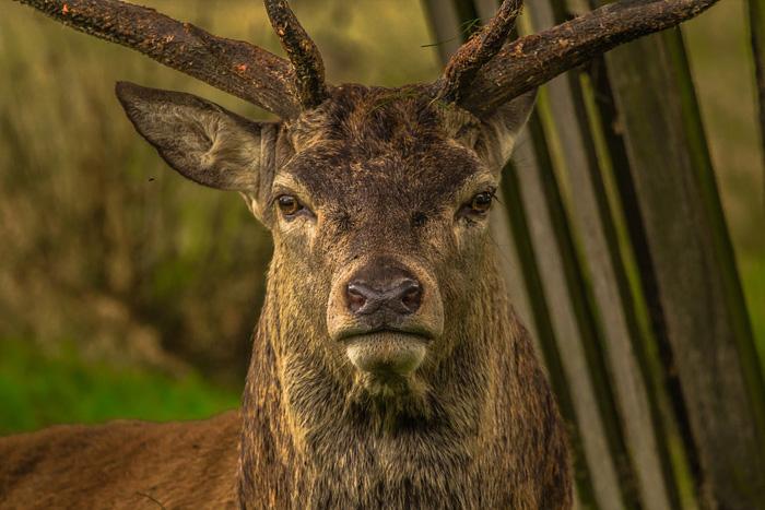 ciervo, animales rumiantes